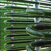 Chlorella Echlorial cultivée sous tube de verre